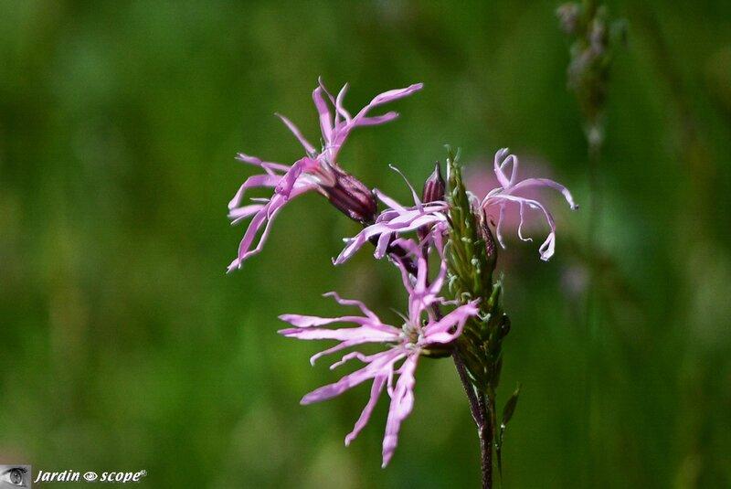 Lychnis-fleur-de-coucou