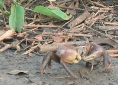 Crabes-de-mangrove