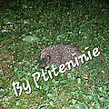 Un hérisson dans mon jardin