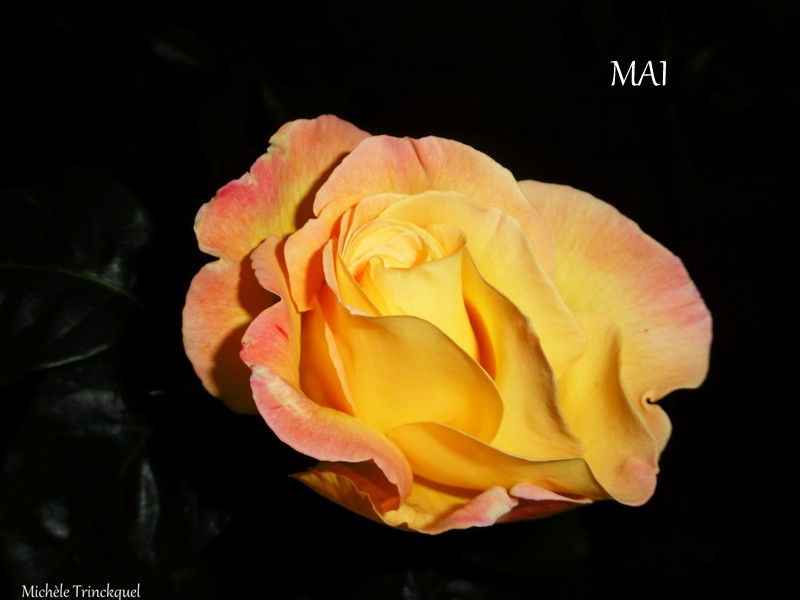 Mes roses 2 160518