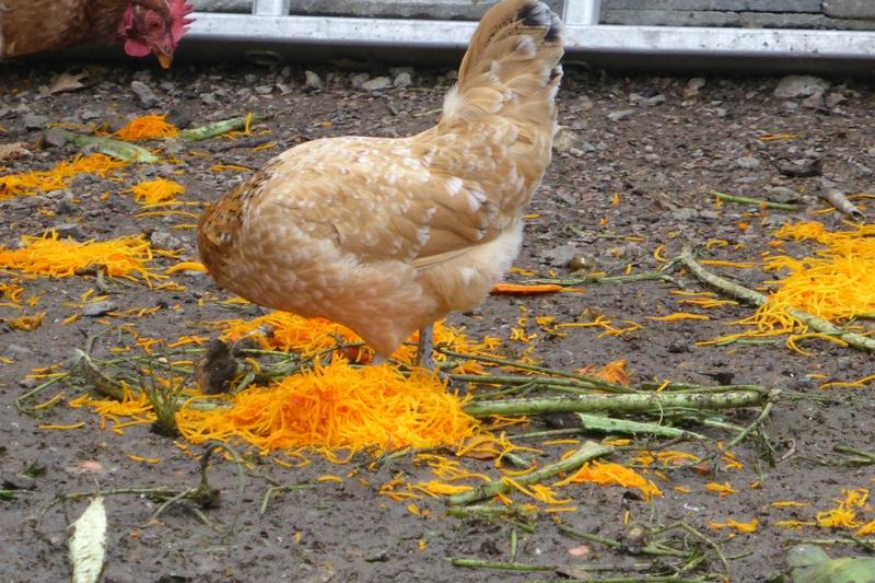 1-poules et potimarron (28)