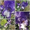 Iris mai 2017 (19)