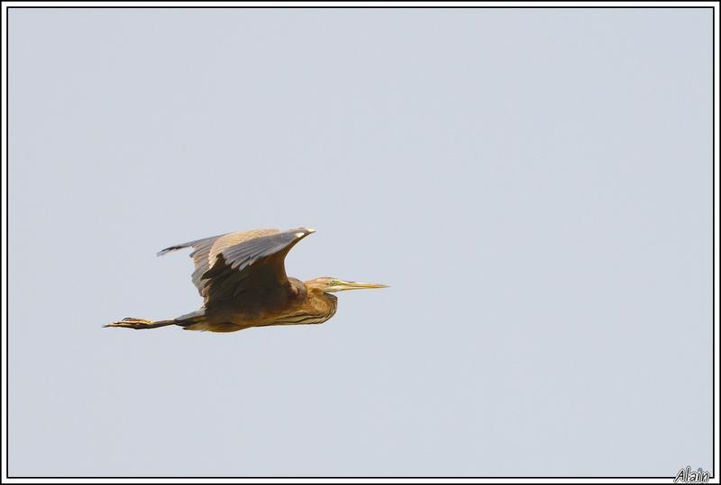 Héron pourpré (Ardea purpurea)