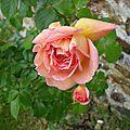 rosier inconnu