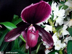 Paphiopedilum_Raisin_Glory