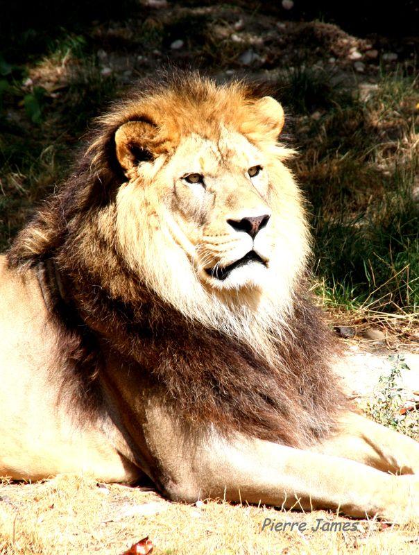 Le vrai Lion de Lyon