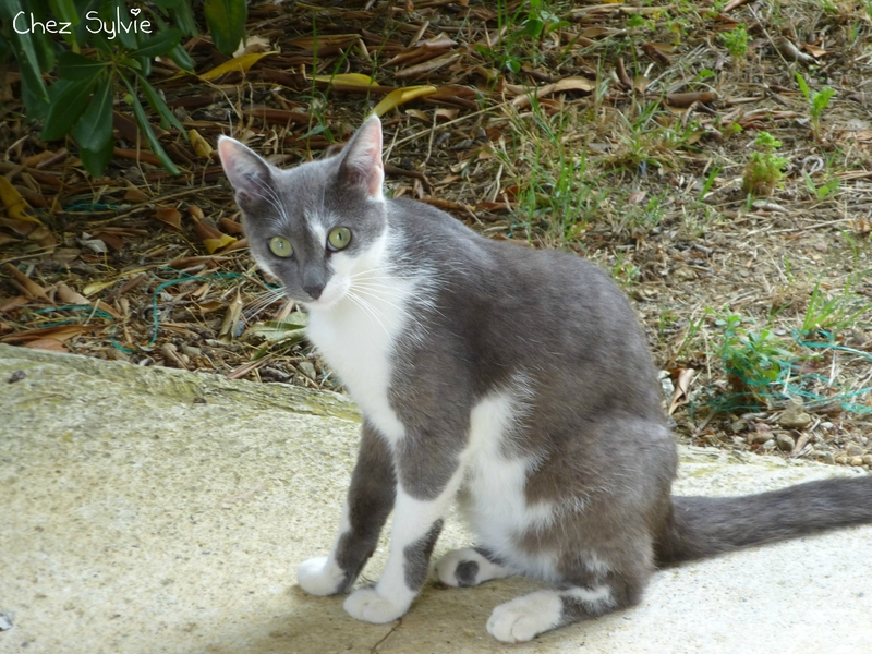 Chat gris08
