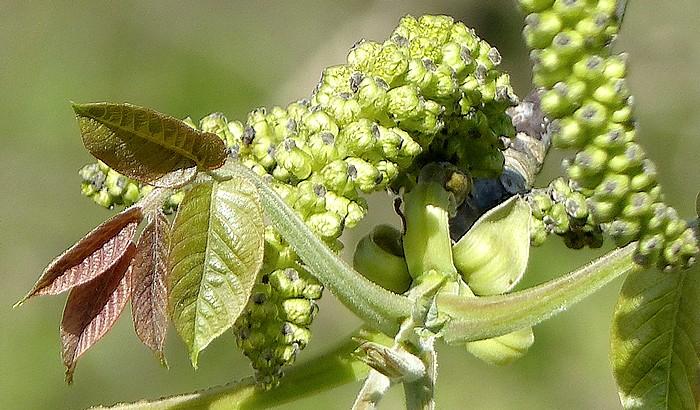 fleurs femelles de 2 à 5 dans un bourgeon à 4 écailles caduques