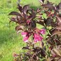 Weigelia florida Alexandra