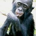 11 bis - bébé bonobo