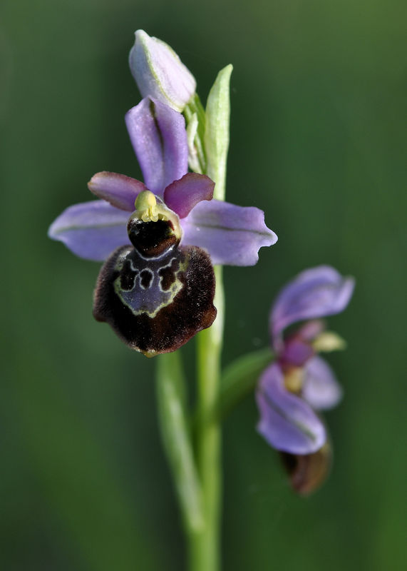 _DSC0754_Ophrys_aveyronensis