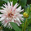 Dahlia--Mick's-peppermint