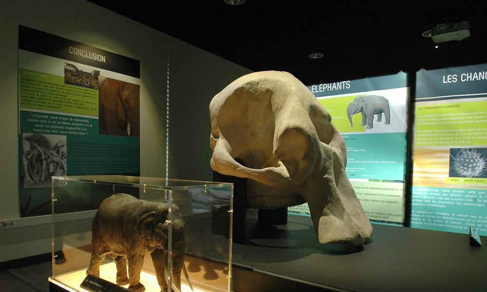 Moulage d'éléphant muséographie