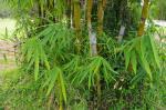 photo 30- les feuilles des rejets de base sont souvent plus grandes chez B vulgaris