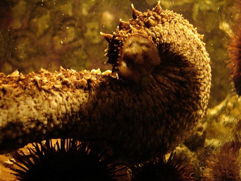 Concombre de mer