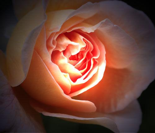 roseflash