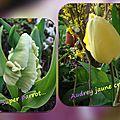 balanicole_2016_05_avril tulipes_08_super parrot et audrey jaune