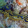 Doris géant (hypselodoris picta webbi)
