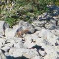 2008 08 21 Un renard au pied du 2008 08 21 Le chemin du retour du Mont Mézenc (2)