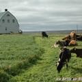 Maison et vaches islandaises près du Myvatn.