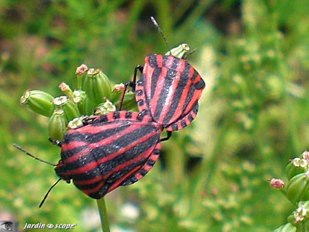 Graphosoma_lineatum_in_copula