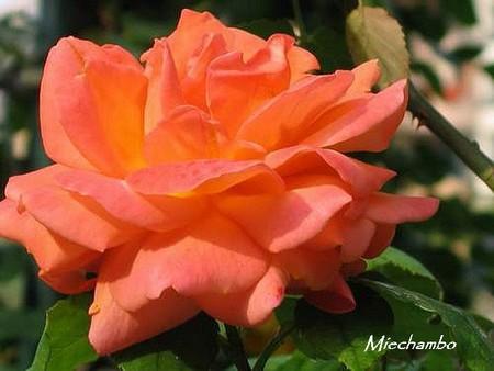 Rose_saumon