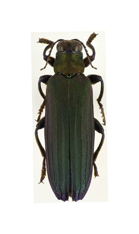 Chrysochroa lacordairei