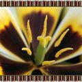 Coeur de Tulipes (3)