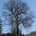 2008 04 07 Un arbre et un ciel bleu pour fond