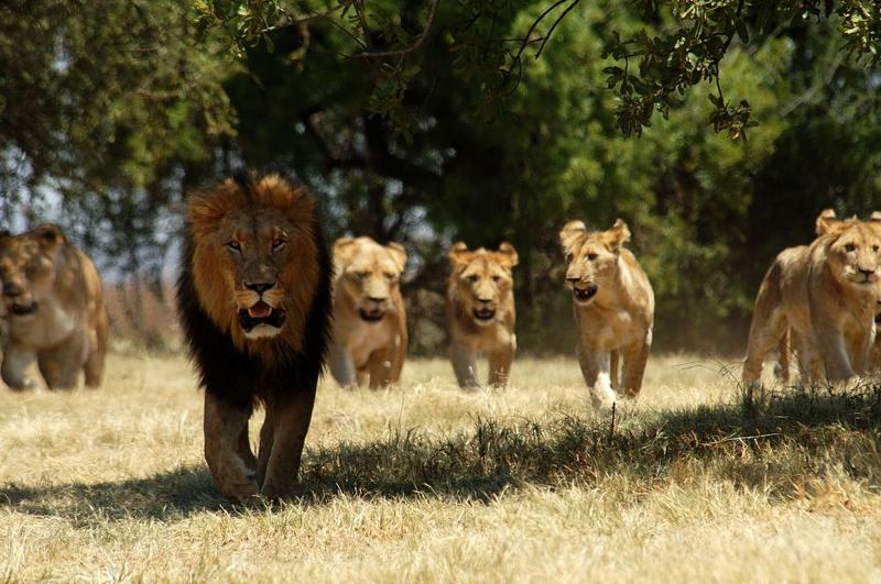 LION ET SES LIONNES LA POLYGAMIE NATURELLE