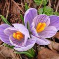 fleur_du_printemps