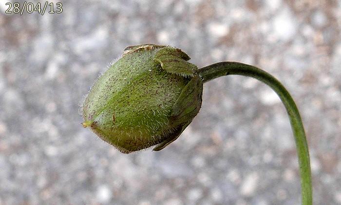 capsule velue-subglobuleuse pédicelle fructifère penché