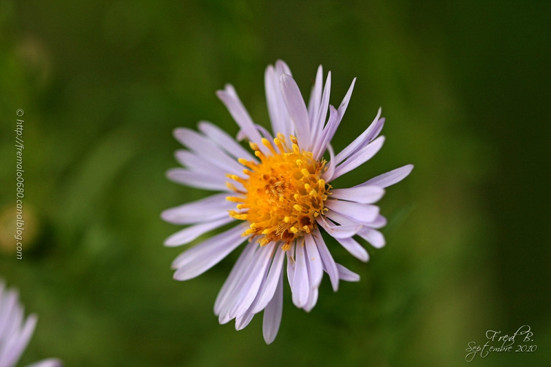 Aster sp