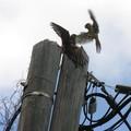 combat de faucons crécerelles