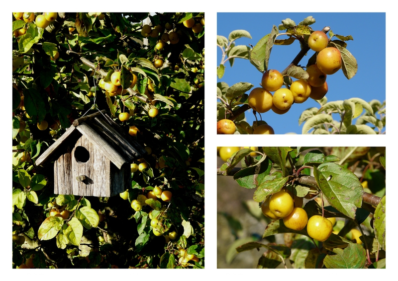 Malus golden hornet 2013