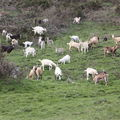 2009 05 01 Les chèvres à Montgiraud (2)