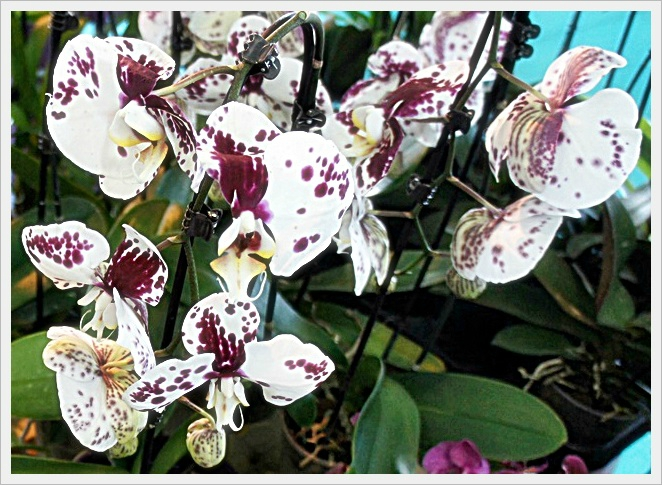 ORCHIDEES MOUCHETTEES MAUVES BLANCHES