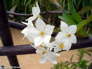 6380_Fleurs_blanches