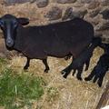 2009 10 13 La brebis avec ses deux petits agneaux nés en matinée (3)