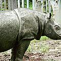 Le dernier mâle rhinocéros de sumatra de l'est s'est éteint à bornéo