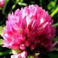 Fleur de tréfle
