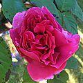 Mes roses.... et mon rouleau