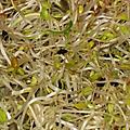 Dossier graines germees