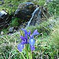 P1080770 Un iris et un cours d'eau