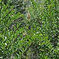 Cyrtophora citricola • Famille des Araneidae