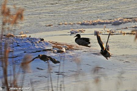 Envol-des-canards