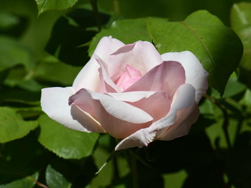 Rose Sophie 14