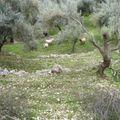brebis et oliviers