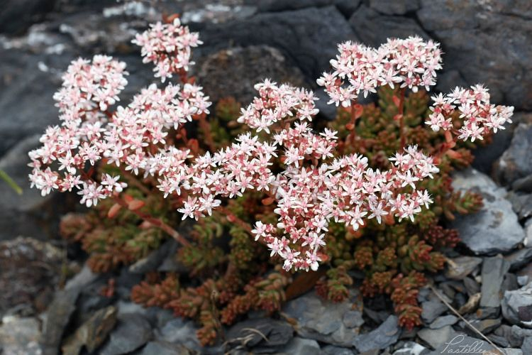 Saxifrages_cailloux