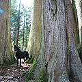 IMG_3345 Tasco entre les troncs du thuya plicata